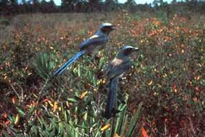 Florida scrub-jay - THREATENED