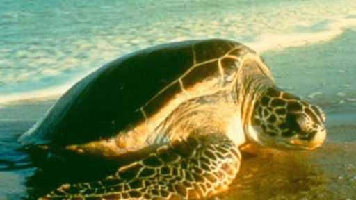Green Fl sea turtle fws.gov.jpg