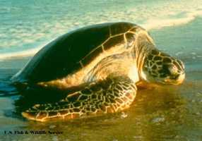 Green sea turtle - ENDANGERED