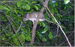 Key Largo woodrat - ENDANGERED