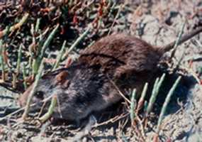 Lower Florida Keys rice rat - ENDANGERED