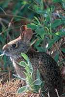 Lower Keys marsh rabbit - ENDANGERED