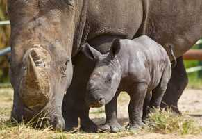 Busch Gardens has a new baby white rhinoceros.