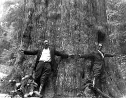 """In the early 1920s, two men stand at the base of the giant Cypress tree """"Senator"""" near Longwood."""