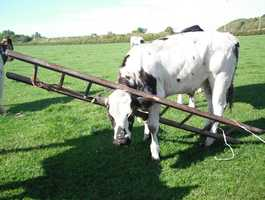 Stuck Cow - This cow was rescued by animal control officers in Scotland after getting his head stuck between the rungs of a ladder.