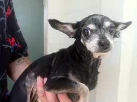 Lake county deputies are looking for the person who threw a Chihuahua in the garbage that was about to be picked up.