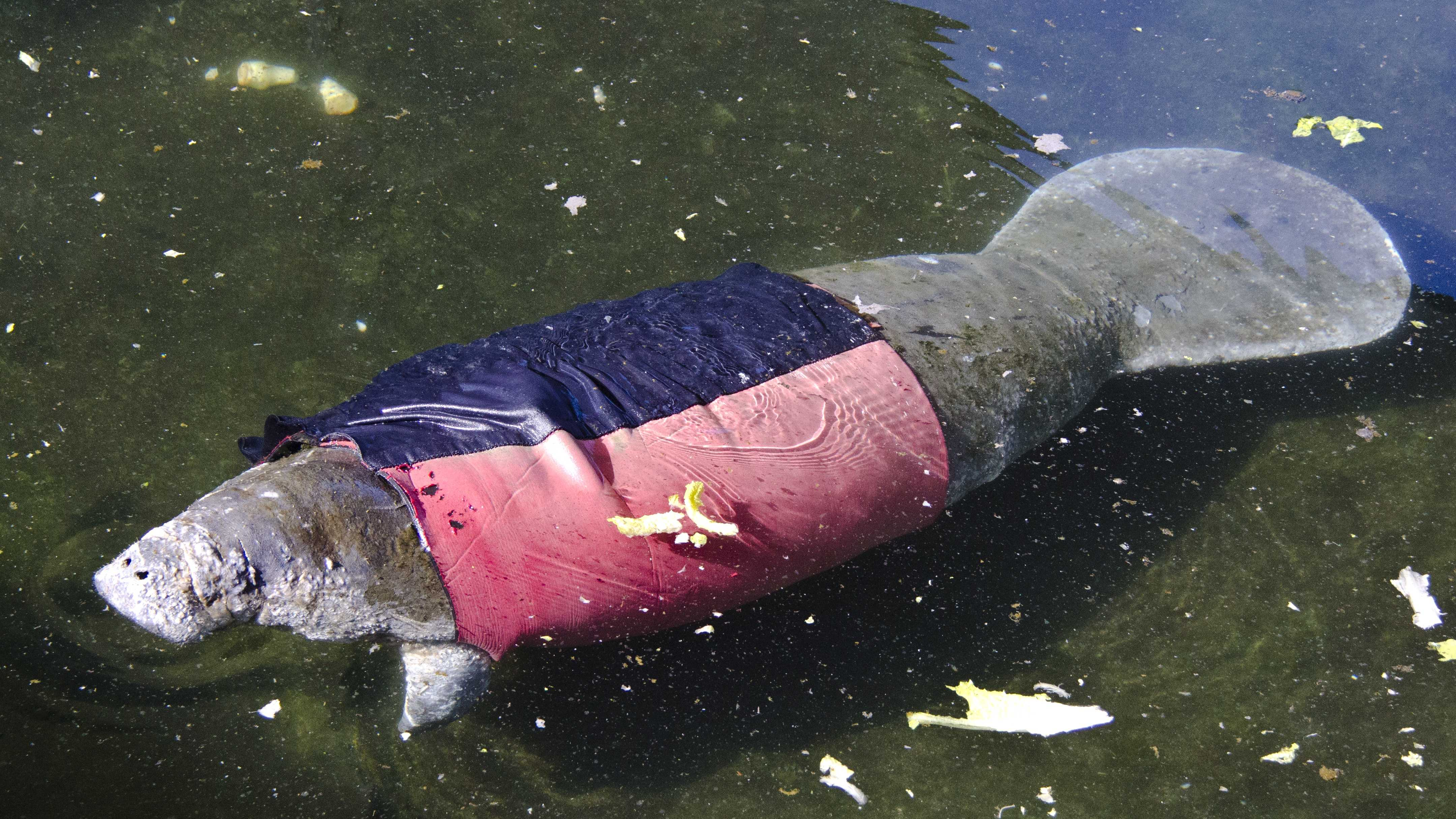SeaWorld Rescued Manatee