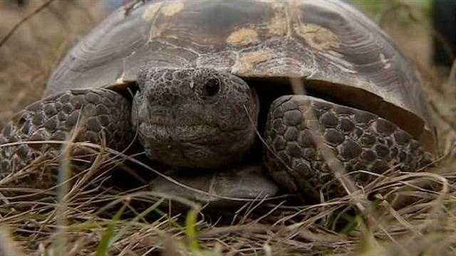 Wekiva Parkway construction plan looks after endangered tortoises