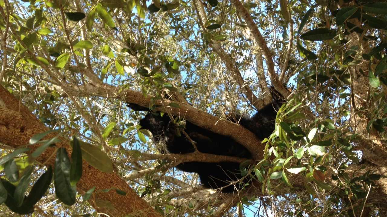 Black Bear in Eustis 2
