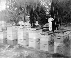 1924: Harry Hewitt stands with his bee hives in Apopka.