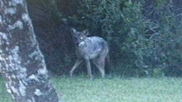 img-Coyote Troubles