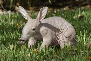An adorable aardvark was born at Busch Gardens in Tampa on Tuesday.