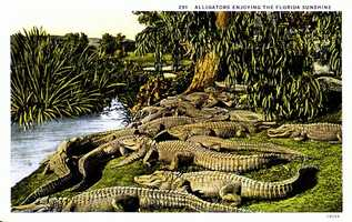 Alligators in the Florida sunshine in 1910.