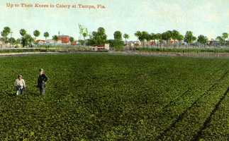 A celery field near Tampa.