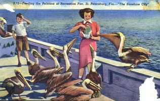 Feeding the Pelicans at Recreation Pier in St. Petersburg in 1952.