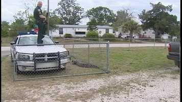 A 9-foot alligator brought curious neighbors out of their homes in Mims on Friday.