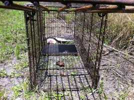 A trapper was hired to try to catch the coyotes. A fish, raw chicken and some chicken wings were placed inside.