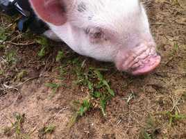 WESH 2 introduced you to Chris P. Bacon in February, back when he was just a piglet.