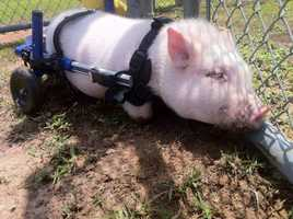 A disabled pig that became an Internet sensation after he learned to get around in a wheelchair is now all grown up, so he has new wheels.