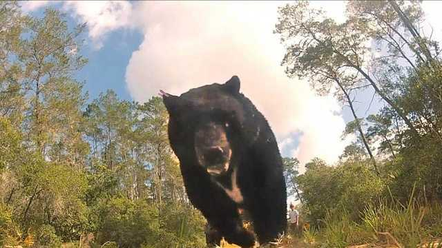 Largest Fla. black bear 2.jpg