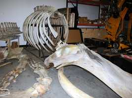 8. Humpback whale bones from the 1800s