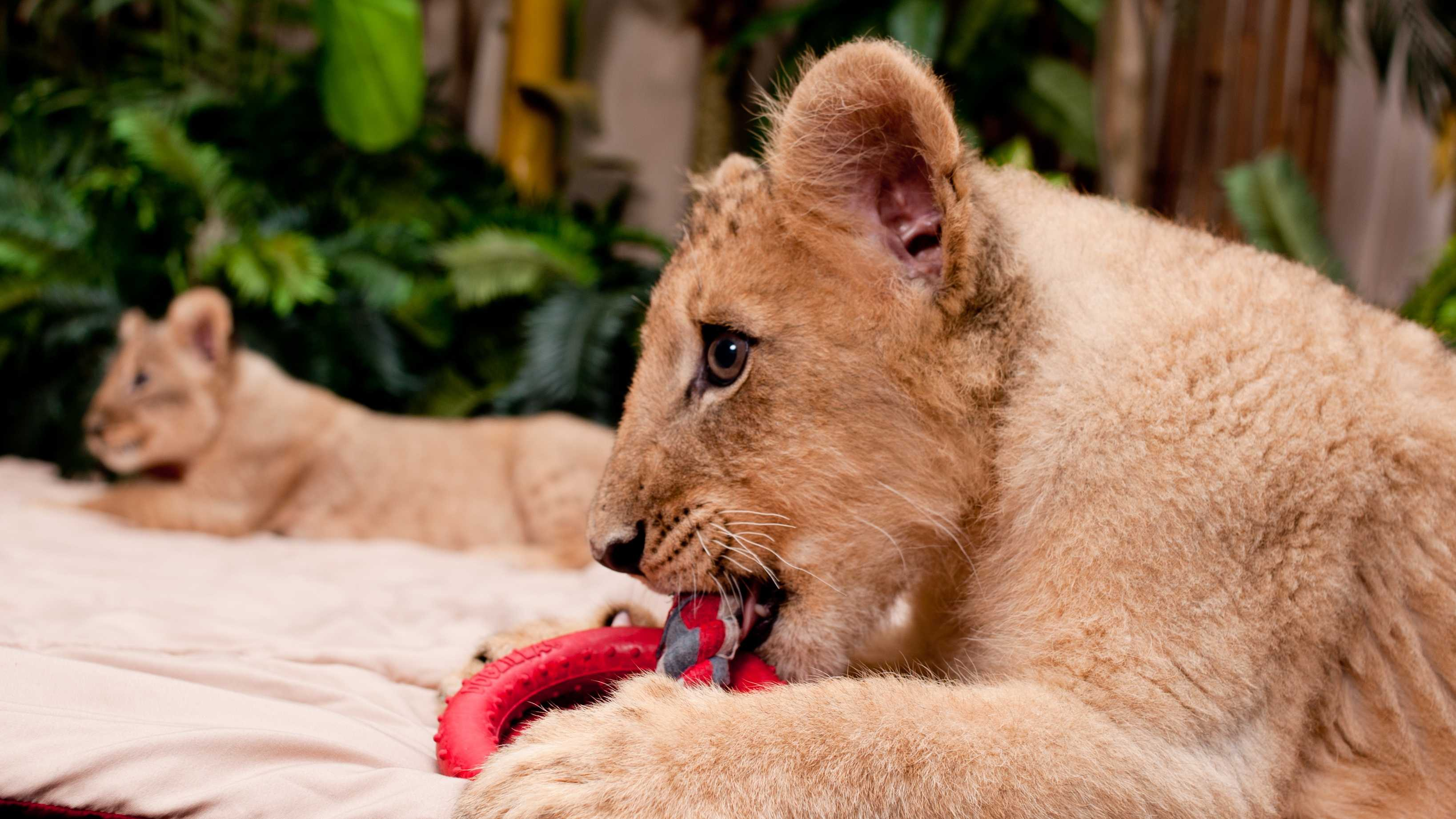 Busch Gardens Lion Cubs photo5