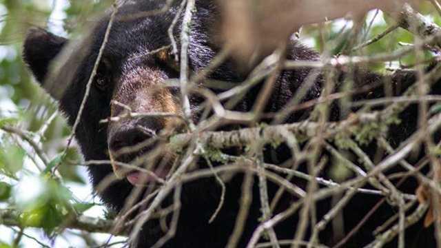 New Smyrna bear