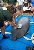 A 595-pound male manatee was returned to the waters of Bonita Springs near Naples on Thursday.