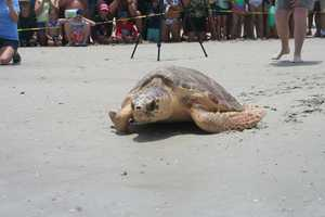 After months of rehabilitation at the Marine Science Center, three loggerhead sea turtles were strong enough to go home.