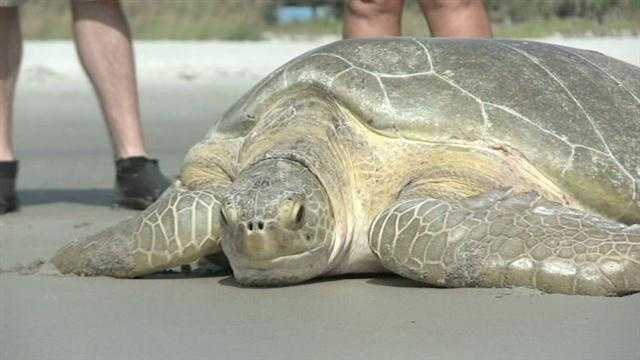 After a few days of rest and relaxation, a 360-pound green sea turtle was returned to the waters off Cocoa Beach.