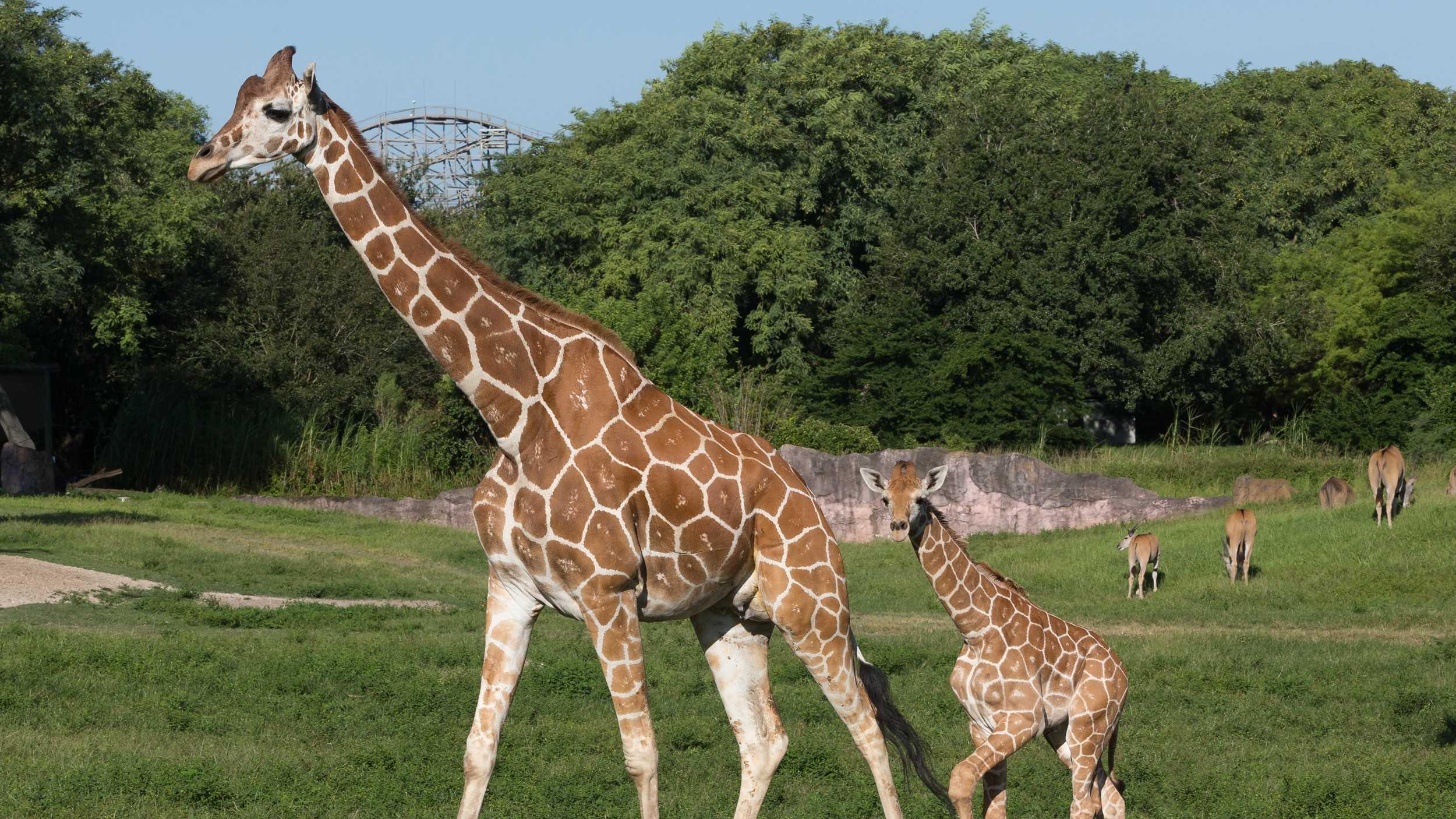 Busch Gardens Baby Giraffe.jpg