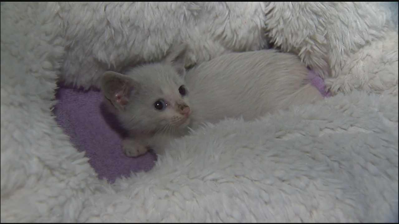 Kitten survives miles underneath car