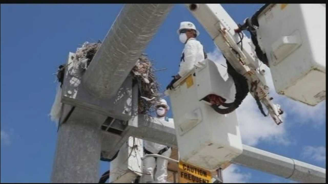 A family of four ospreys has a new home, thanks to Brevard County Public Works crews.