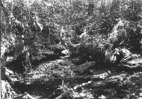 Ferns growing on shelving rocks in a limestone sinkhole in 1918.