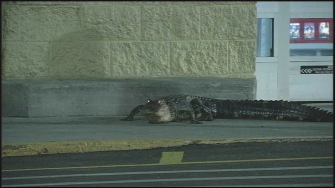 Gator lurks outside Walmart