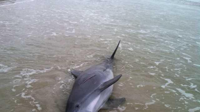 Dead Dolphin-Tuesday_3.JPG