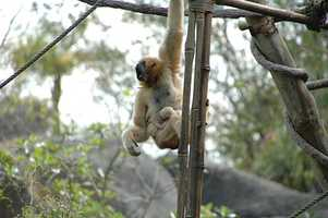 This infant white-cheeked gibbon is seen with its mother.