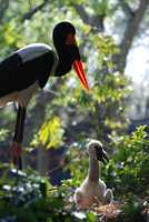 See some of the baby animals welcomed at Disney in 2013. This saddle-billed stork was hatched at Animal Kingdom.