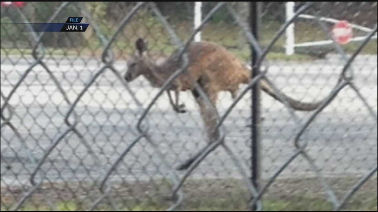 Owner of escaped kangaroo speaks out