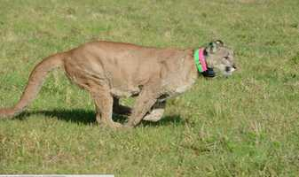 Wildlife officials have finally released an endangered Florida panther that was rehabilitated after a car crash.
