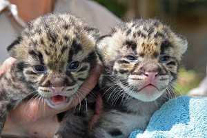 Officials said two female leopards were born March 13. The kittens have been secluded in a den with their mother, Serai, but zoo staff was able to exam the infants this week. The mother and kittens are doing fine.