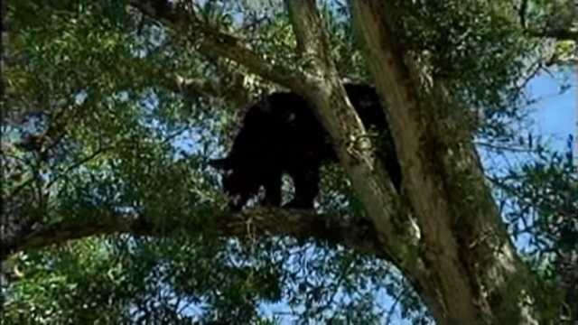Bear stuck in tree Florida