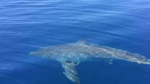 John Garretson and his fishing buddy were about five miles out from the Jupiter inlet when they got a rare encounter with a great white shark right off our coast and captured it on video.