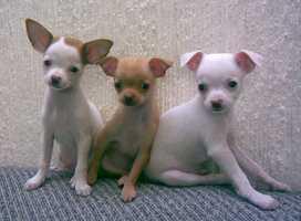 3. Chihuahua