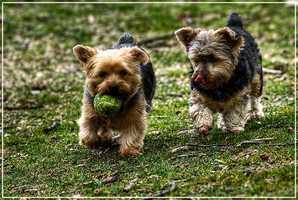 1. Yorkshire Terrier
