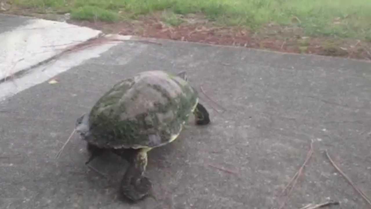 img-Freshwater turtles head for dry nesting ground_medRes.jpg