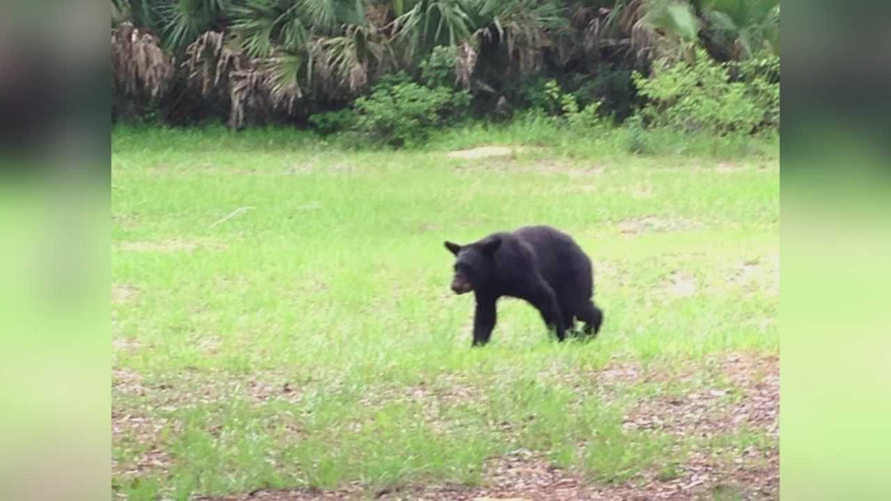 A UCF student was shocked to see a Florida black bear climb into the trunk of his car.