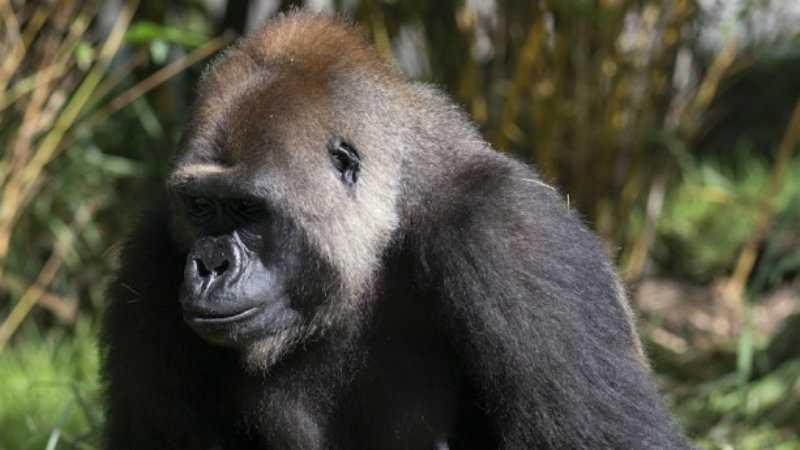 gorilla 1.jpg (1)