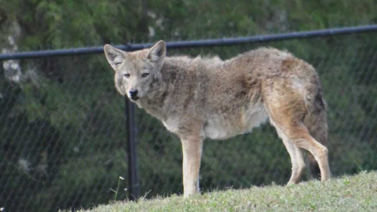 Coyotes spotted in College Park, wildlife officials say