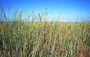 "Sawgrass represents the Florida state song, ""Florida, Where the Sawgrass Meets the Sky."" The song was written by Jan Hinton, a music teacher from Pompano Beach, and during the 2008 legislative session it became the new state song."
